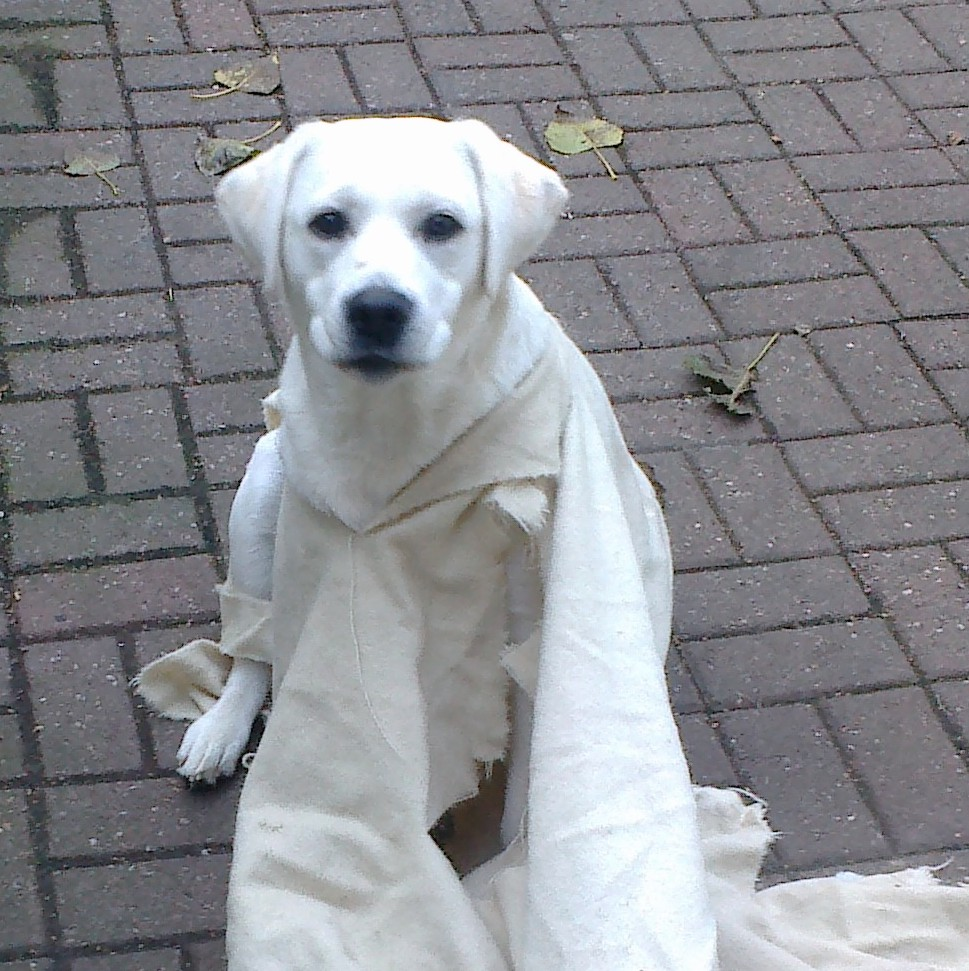 Luna Ludrow, the cute snow-white labrador